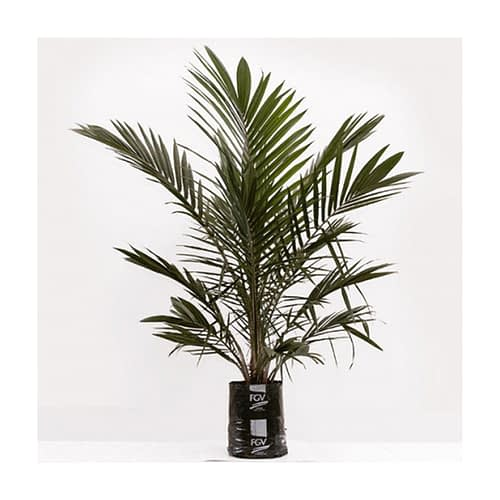 OilPalmClone_10to12months