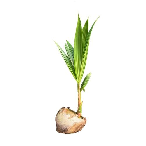 Coconut Seedling1